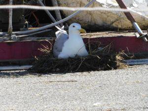 Seagull sitting on nest
